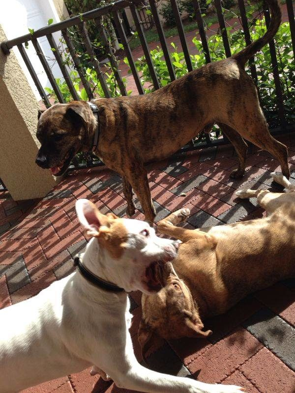 Kris Fannin's Rescue Dogs - intelivate effective leadership lessons learned from rescued dogs playing